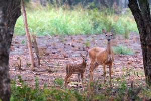 Deer and Fawn copy